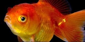 goldfish2-A