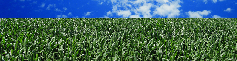 cornfield3