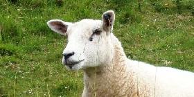 sheep2015-280