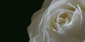 rosewhite-280
